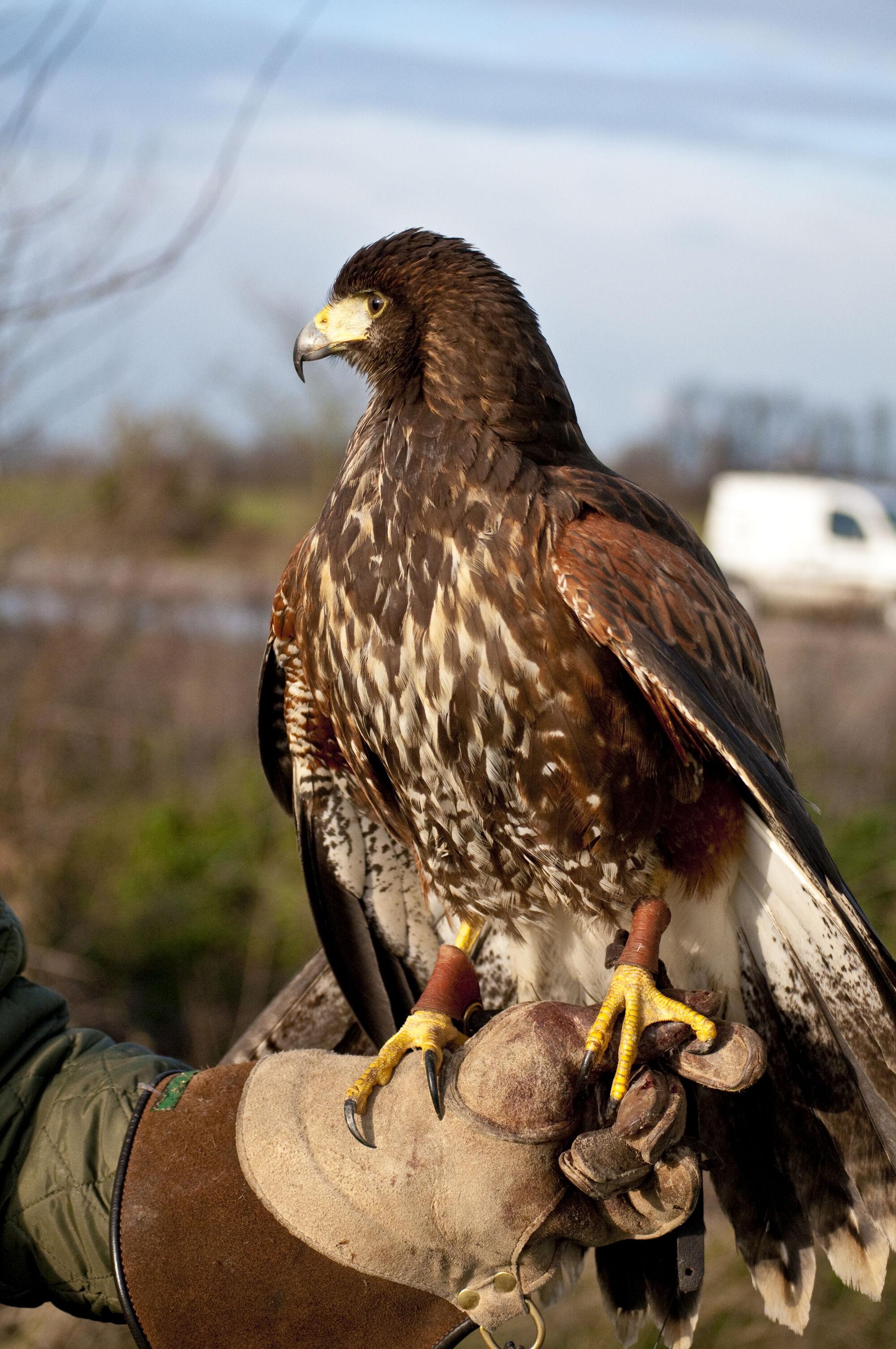 Slow Down Signs >> Harris Hawk | British Wildlife Wiki | FANDOM powered by Wikia