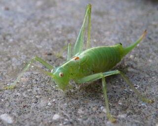 Southern Oak Bush Cricket