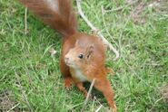 Redsquirrelsteve2