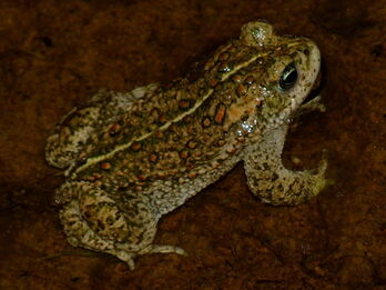 Natterjack Toad 3