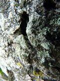 Ochrolechia parella ~ A Lichen.JPG