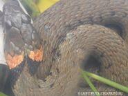 Orange Collar Grassie