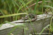 Common Lizard 3