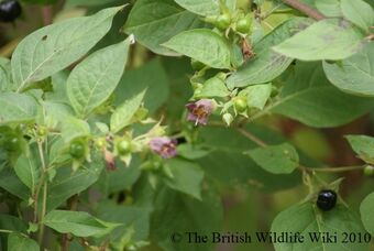 Deadly Nightshade British Wildlife Wiki Fandom