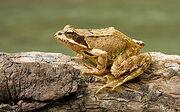250px-European Common Frog Rana temporaria