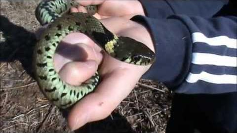 Grass Snake, Adder and a Common Toad