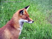 Fox at British Wildlife Centre