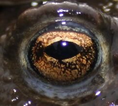 Common Toad Eye