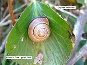 Brown Lipped Snail2