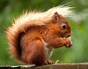 Red Squirrel2