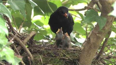 THE BLACKBIRD & YOUNG
