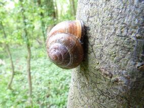 Brwn-lipped Snail
