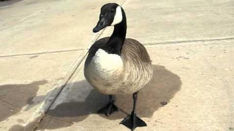 Hissy Canada Goose