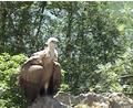 Griffon Vulture.png