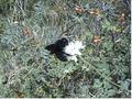 Xylocopa violacea.png