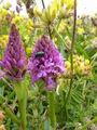 Pyrimidal Orchid.JPG