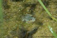 Turquoise Marsh Frog