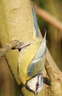 Blue Tit branch
