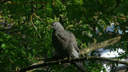 Fledgeling wood pigeon