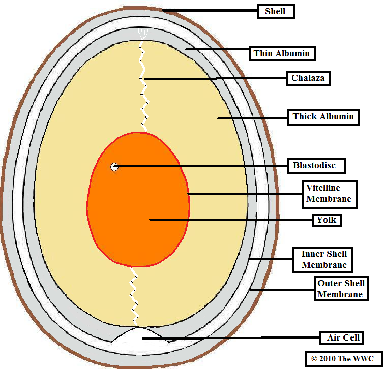 Image - Egg cut through.png | British Wildlife Wiki | FANDOM powered ...