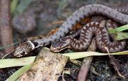 The Adder & The Grass Snake