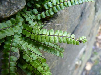 Maidenhair Spleenwort Close