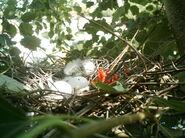 Wood Pigeon Nest