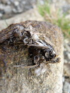 Hooded Crow Pellet
