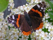 Red admiral KN
