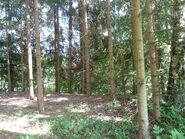 Coniferous forest interior