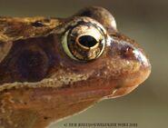 Common Frog Head