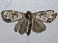 Spanish Moth.png
