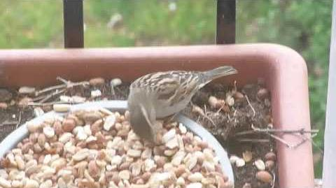 House Sparrow (hen)