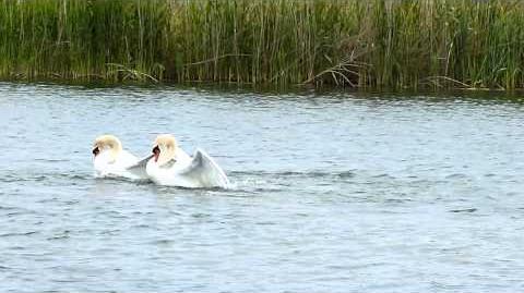 Mute Swan Fight