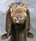 File:Silly goat.png