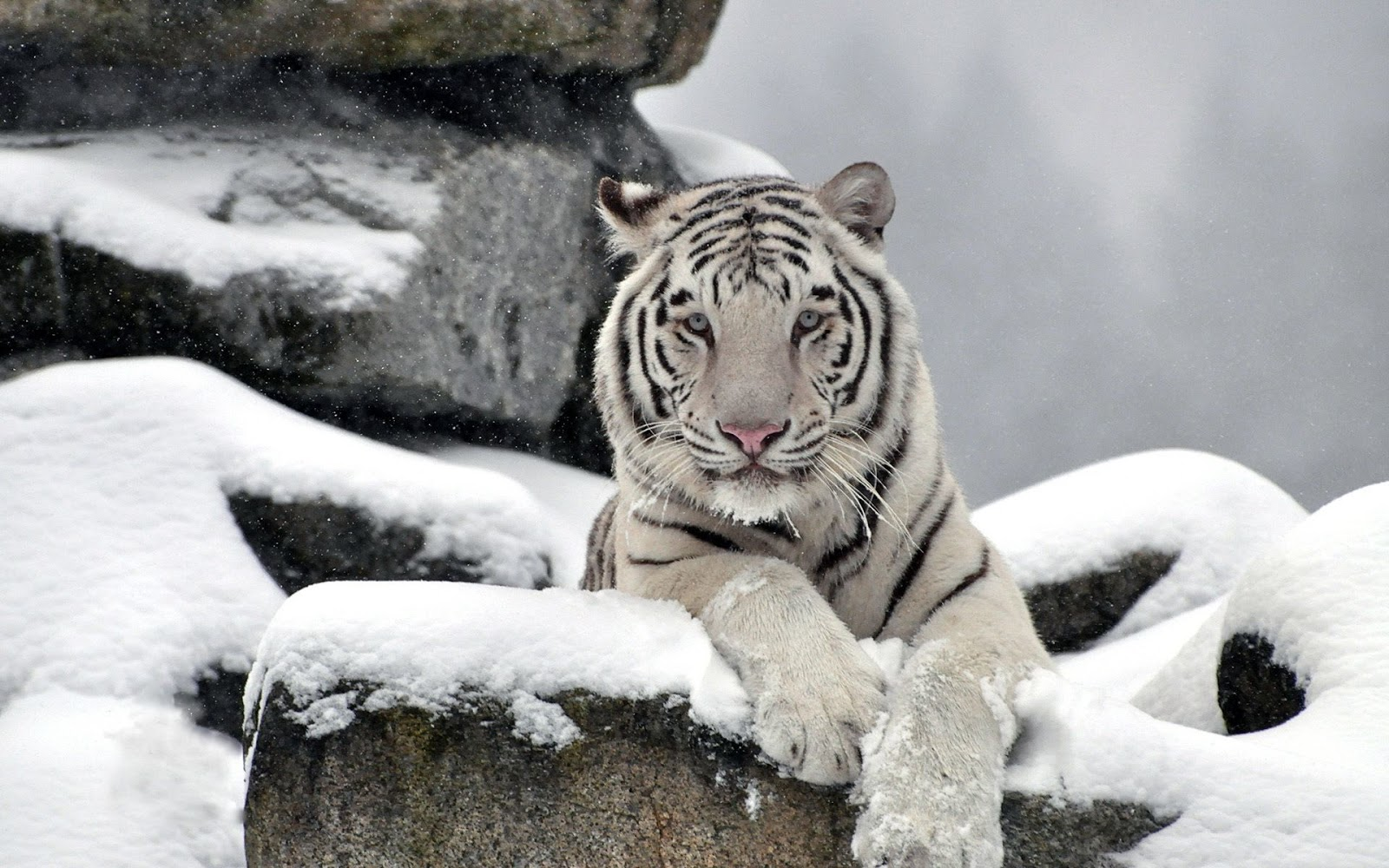 image white tiger wallpaper hd jpg the new thundera wiki