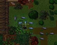 Badger raid