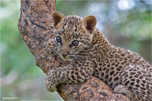 Pascal tier rpg wiki fandom powered by wikia - Bebe du jaguar ...