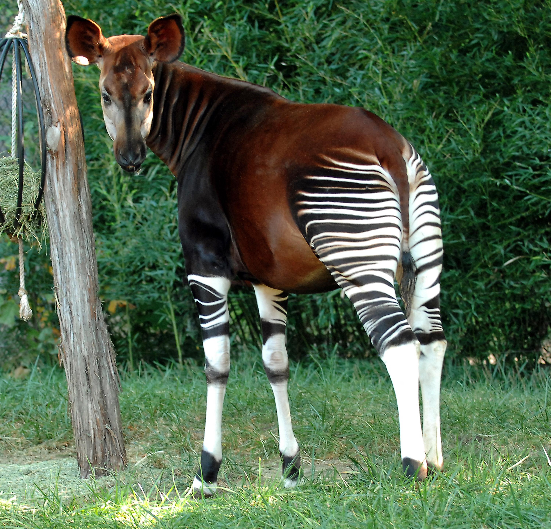 Okapi Tier Lexikon Wiki Fandom Powered By Wikia