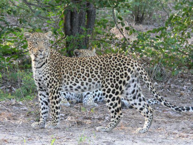 Leoparden Arten