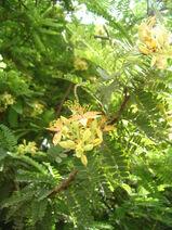 Tamarindus indica-Tamarind-Sukaer-Tamarind3-Luke Simmons