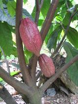 Theobroma cacao-Cocoa-Shokolat-Cocoa13-Luke Simmons