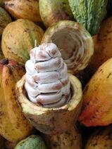 Theobroma cacao-Cocoa-Shokolat-Cocoa10-Luke Simmons