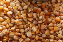 Zea mays-Corn-Batar-Corn1-Luke Simmons