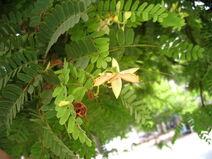 Tamarindus indica-Tamarind-Sukaer-Tamarind2-Luke Simmons