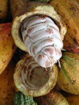 Theobroma cacao-Cocoa-Shokolat-Cocoa9-Luke Simmons