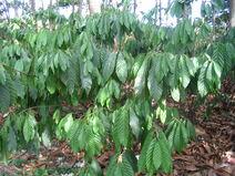 Theobroma cacao-Cocoa-Shokolat-Cocoa4-Luke Simmons