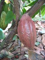 Theobroma cacao-Cocoa-Shokolat-Cocoa12-Luke Simmons