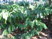 Theobroma cacao-Cocoa-Shokolat-Cocoa1-Luke Simmons