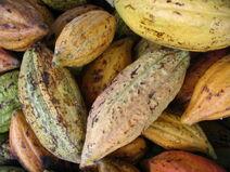 Theobroma cacao-Cocoa-Shokolat-Cocoa8-Luke Simmons